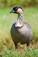 A nene stands in short grass
