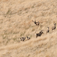 mule deer herd buck and does in grassy open country setting