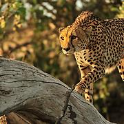 Botswana, Zambia, South Africa