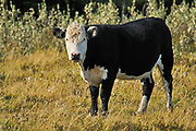 Cattle. White faced Black angus<br /> Fort Walsh<br /> Saskatchewan<br /> Canada