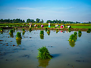 """21 NOVEMBER 2017 - MAUBIN, AYEYARWADY REGION, MYANMAR: Workers plant baby rice in a paddy in the Ayeyarwady  Delta. Myanmar is the world's sixth largest rice producer and more than half of Myanmar's arable land is used for rice cultivation. The Ayeyarwady Delta is the most important rice growing region and is sometimes called """"Myanmar's Granary."""" The UN Food and Agriculture Organization (FAO) is predicting that the 2017 harvest will increase over 2016 and that exports will surge to 1.8 million tonnes.   PHOTO BY JACK KURTZ"""
