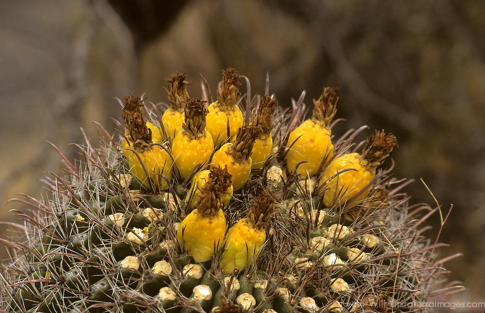 North America, USA, Arizona, Tucson. Saguaro National Park (East). Bloom of the Fishhok Barrel Cactus.