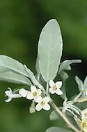 Oleaster - Elaeagnus augustifolia (Elaeagnaceae)