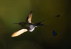 Booted Racket-tail (Ocreatus underwoodii) in Ecuador
