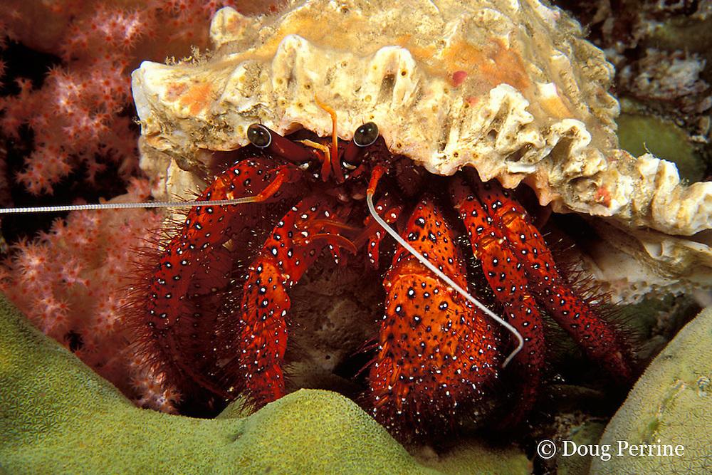 hermit crab, Dardanus megistos, Ko Bon, Thailand ( Andaman Sea, Indian Ocean )