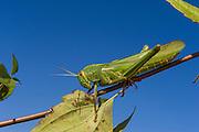 Indian grasshopper<br /> Nameri Wildlife Reserve<br /> Assam<br /> North East India
