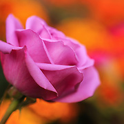 """""""Sangria"""" 2<br /> <br /> A lovely pink-purple rose among colorful garden flowers!!<br /> <br /> Flowers and Wildflowers by Rachel Cohen"""