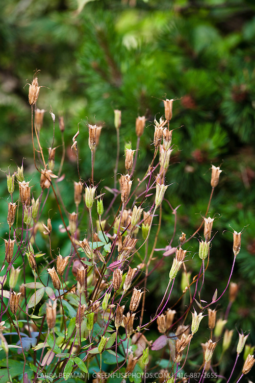 Seeds pods of the columbine flower (Aquilegia canadensis)