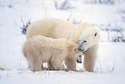 Polar bear sow with cub