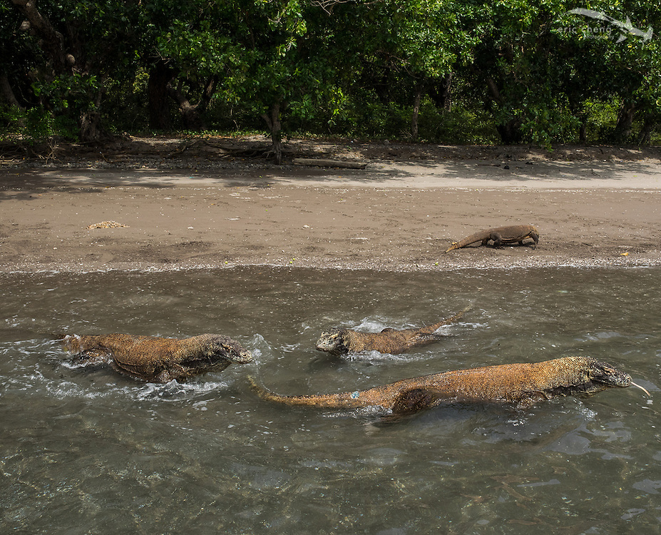Swimming Komodo dragons (Varanus komodoensis) on the beach on Rinca in Horseshoe Bay, Komodo National Park, Indonesia