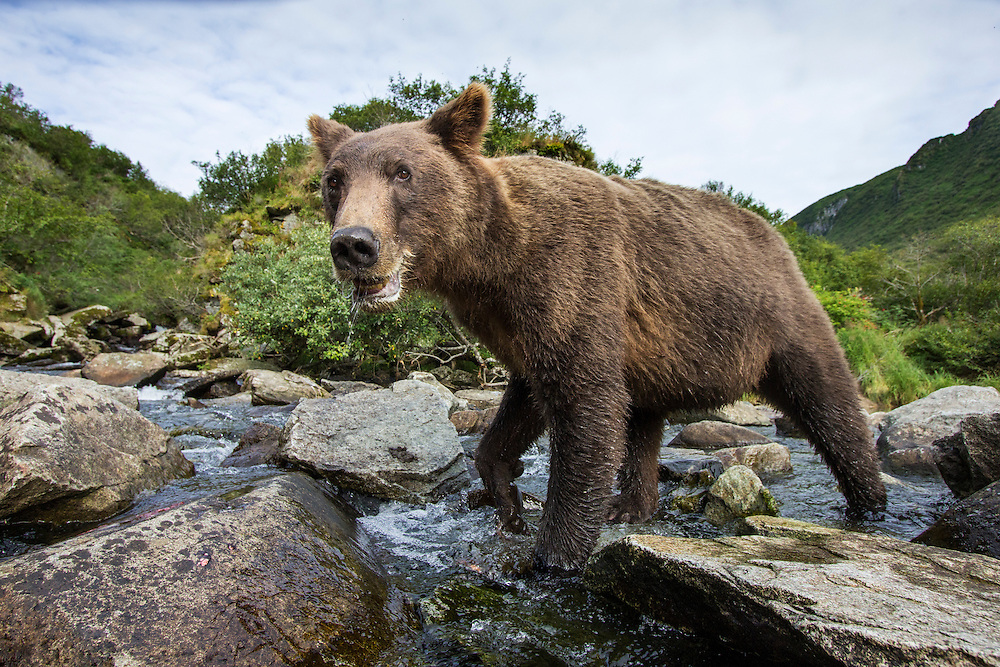 USA, Alaska, Katmai National Park, Close-up view of Coastal Brown Bear (Ursus arctos) fishing for spawning salmon in stream by Kuliak Bay