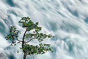 Tree and Bow Falls in Banff townsite<br /> Banff National Park<br /> Alberta<br /> Canada