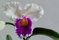 Cattleya Blc. Varut Rittenum orchid#9