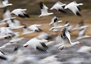 Snow Geese in Flight, Bosque del Apache National Wildlife Refuge
