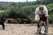Beef cattle breeding In Israel, Mount Carmel Farmer caring for a newborn calf