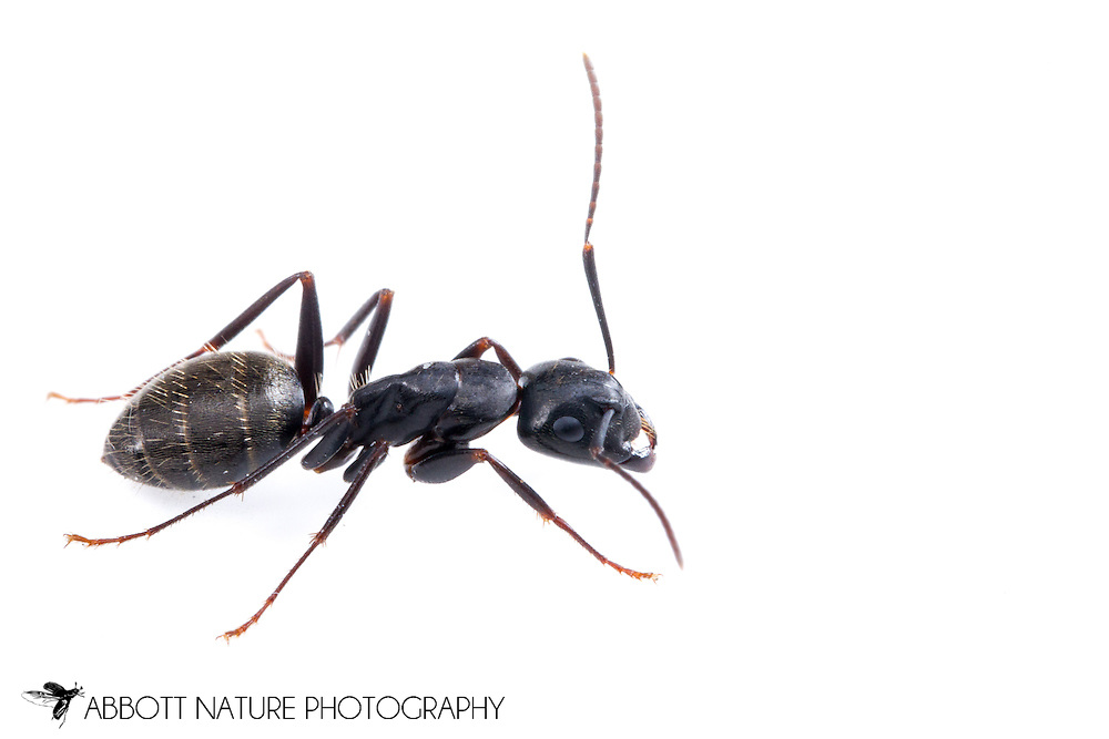 Carpenter Ant (Camponotus pennsylvanicus)<br /> WISCONSIN: Oneida Co.<br /> 8535 Bo-di lac Rd, Minoqua <br />  45.876839, -89.901170 <br /> 11-June-2014<br /> J.C. Abbott #2666 &amp; K.K. Abbott
