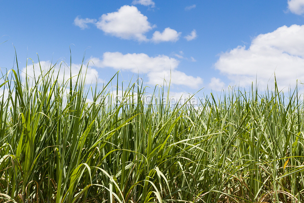 Field of sugar cane on farm under blue sky and cumulus cloud in Pine Creek, Queensland, Australia