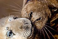 Seal pupping at Donna Nook, North Lincolnshire