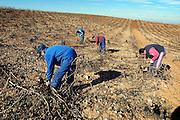 Spanje, Aragon, 10-2-2005..Een wijnboer en enkele landarbeiders snoeien de druivenstruiken in de arme streek Aragon.De streek, regio leidt aan leegloop en voelt zich vergeten door het bestuur in Madrid. Landbouw, wijnbouw, wijnproduktie, wijn. Armoede..Foto: Flip Franssen/Hollandse Hoogte