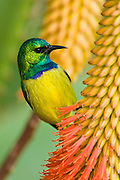 Male Collared Sunbird, Kruger National Park, South Africa