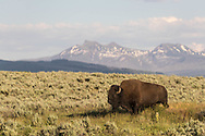A bison bull strolls through the Lamar Valley in Yellowstone National Park on July 1, 2017.