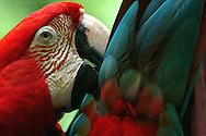 Guacamaya nombre común pertenecientes a la familia del loro Existen 17 especies en la actualidad de cada uno de los miembros de un grupo de aves de cola larga y pico fuerte,, que viven en el trópico americano.; varias especies de las Antillas y las Bahamas están hoy extintas.Ave de gran potencial turístico y de atracion Los guacamayos tienen una gran demanda en las tiendas de mascotas y se exportan en gran número, legal o ilegalmente, a otras partes del mundo un ave ornamental por su cualidad estética, como el colorido plumaje que se prestapara dar viveza a su especie Generalmente viven 70 años.Otra cosa muy notable de su especie es que ellos nunca andan solos, siempre andarán en grupos de 2, 3 o mas. Este comportamiento se debe a que ellos viven en parejas, un macho y una hembra. Pero cuando uno de los dos muere otra pareja lo adopta.Es una especie endogámica que empieza a reproducirse a los cuatro años de edad, poniendo entre uno y cuatro huevos cada temporada de reproducción, la cual abarca de noviembre a mayo. A pesar de que en algunas regiones concretas su supervivencia está amenazada, considerando su gran rango de distribución, la Lista Roja de la UICN (Unión Internacional para la Conservación de la Naturaleza) la clasifica según su estado de conservación como especie bajo preocupación menor. Por otro lado, la especie está listada en el Apéndice I del Convenio sobre el Comercio Internacional de Especies Amenazadas de Fauna y Flora Silvestre (CITES). Muchos países también cuentan con leyes y organizaciones propias que protegen esta especie, y que buscan revertir su desaparición en muchas regiones de su área de distribución original a causa del ser humano, a través de re-introducciones con ejemplares criados en cautiverio.Se emparejan de por vida después de los cuatro años de edad. Las parejas que forman son muy estables; incluso puede observarse dentro de una bandada en vuelo que las aves emparejadas vuelan una al lado de la otra.34