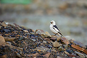 snow bunting (Plectrophenax nivalis), Spitzbergen Island, Svalbard Archipelago, Arctic Norway in July
