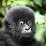 It took an awful long time and a lot of effort to climb up through Uganda's Impenetrable Rainforest but the sight that greeted me at the top was perfect. New born gorillas were learning to feed and walk.