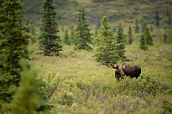 Moose are frequently seen in the taiga forest between the park headquarters and the Savage River. The moose is the largest member of the deer family. Wolves are the primary predators of moose.