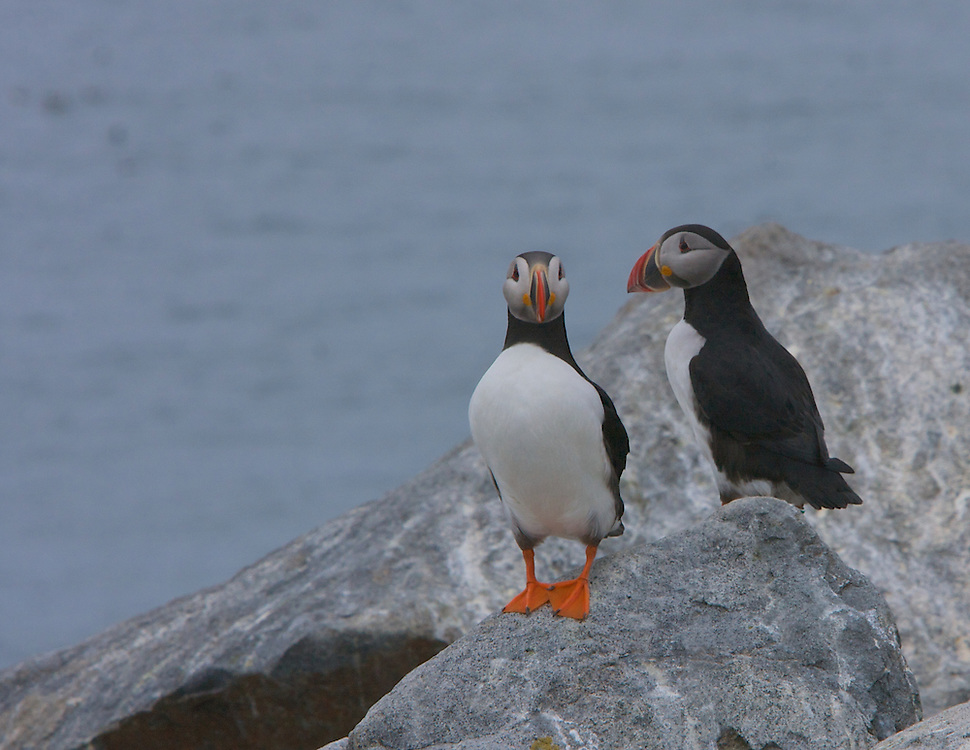 Mature Atlantic Puffins return to the same breeding grounds where they were fledged. This pair is nesting on Machias Seal Island, Maine.