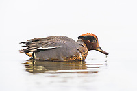 The Eurasian Teal or Common Teal is common in Iceland and is one of Europe¥s smallest ducks.