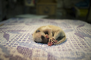 Raccoon <br /> Procyon lotor<br /> One-day-old orphaned baby at wildlife rehabilitation center<br /> WildCare, San Rafael, CA