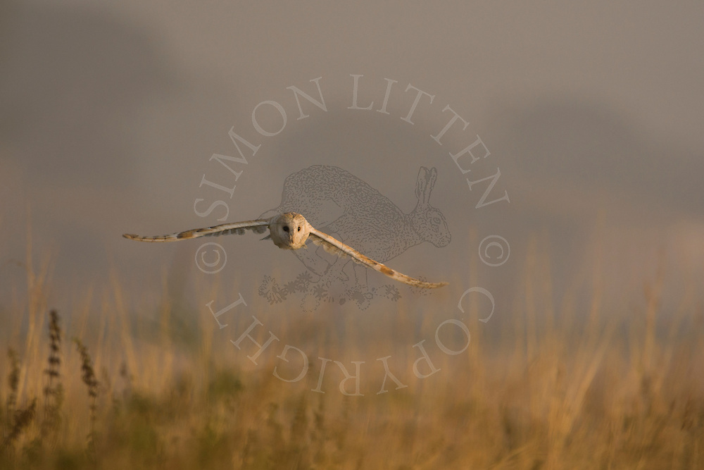 Barn Owl (Tyto Alba) adult hunting along field margin, Norfolk, UK.