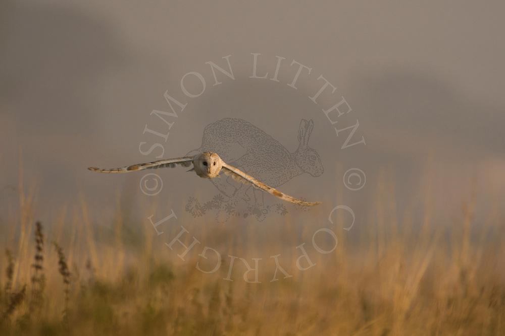 Barn Owl (Tyto Alba) adult hunting along field margin, Norfolk, UK.
