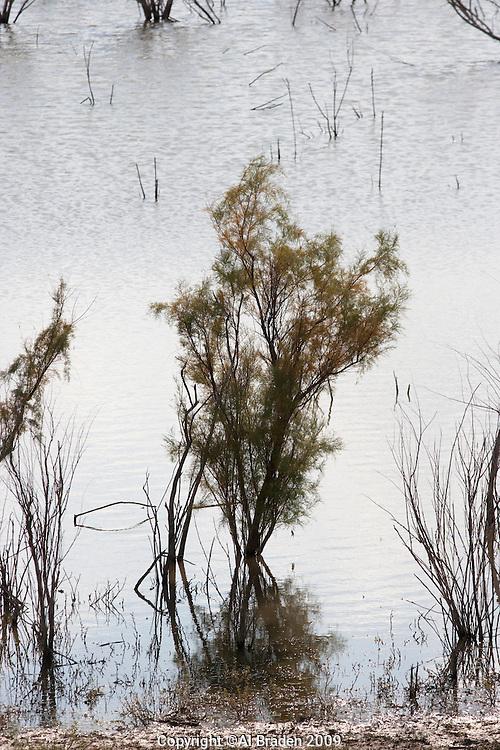 Salt cedar and Rio Grande near Ft. Quitman, TX.