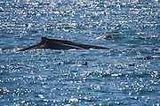 Humpback Whale mother and calf, Kenai Fjords National Park, Alaska, seen from a whalewatching boat. These two whales were feeding, probably after migrating from Hawaii..