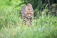 Cheetah walking through long green grass, Thanda Private Game Reserve, KwaZulu Natal, South Africa