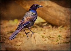 A Common Grackle In The Yard