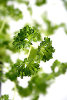 Close-up of fresh parsley - studio shot