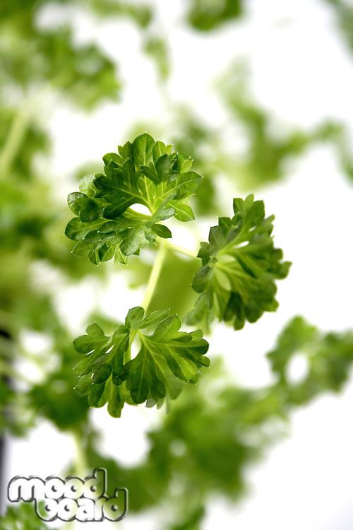 Close-up of fresh parsley - studio shot