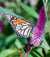 Monarch Butterfly-Pawleys Island
