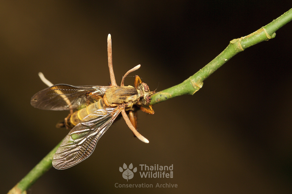 Hymenostilbe dipterigena is a fungi that Infects dipteran flies. Seen here after killing a host Asilidae robber fly.