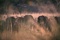 A herd of cape bufflao graze in late afternoon light in the heart of the Okavango Delta in Botswana, southern Africa
