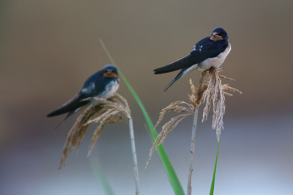 Barn Swallows perching on reeds, Bagerova Steppe, Kerch Peninsula, Crimea, Ukraine