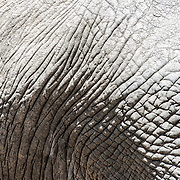 A closeup of the wrinkled surface of an elephant's hide at Tarangire National Park in northern Tanzania not far from Ngorongoro Crater and the Serengeti.