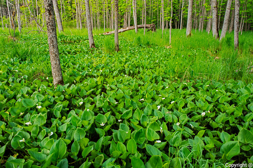 Water Arum (Calla palustris) blossoms growing in marsh on Kendall Inlet Road<br />Kenora<br />Ontario<br />Canada