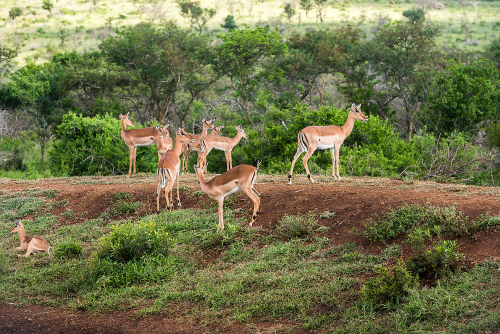 Gazelles stick together in the bush as protection from predators