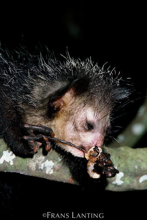 Aye-aye feeding, Daubentonia madagascariensis, Madagascar