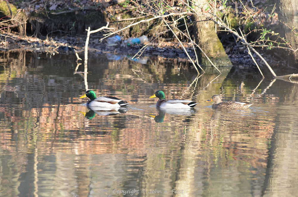 Three ducks (two drakes and a duck) heading upstream on the D and R Canal in Hillsborough, NJ