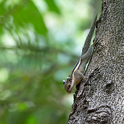 The Himalayan striped squirrel (Tamiops mcclellandii), also known as western striped squirrel, or Burmese striped squirrel, is a species of rodent in the family Sciuridae. This species is diurnal, arboreal and feeds on fruits, vegetable matter, and insects.